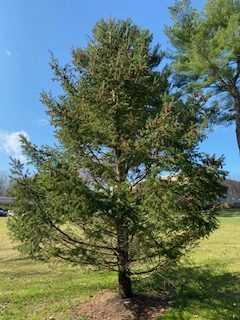 The pine tree that hates its existence.